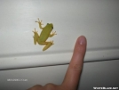 normal sized tree frog by Tamarack in Other