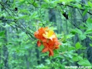 Flame Azalea by Dances with Mice in Flowers