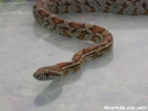 Small Corn Snake by Dances with Mice in Snakes