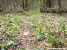 Duncan Ridge Trail - Violet carpet