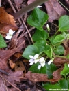 Sweet White Violets by Dances with Mice in Flowers