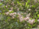 Wild Cherry by Dances with Mice in Flowers