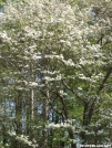 Dogwood Tree by Dances with Mice in Flowers