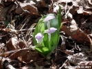 Showy Orchis