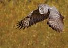 Owl by minish223 in Birds