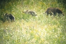 Yellowstone Trip by minish223 in Bears
