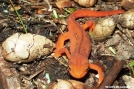 Eastern Newt/Red Spotted Newt  (Notophthalmus viridescens)- red eft stage