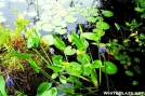Pickerelweed and Water Lily in CT pond