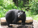 4th of July Bear