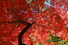 Sourwood fall color by coheterojo in Members gallery