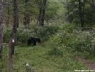 Bear at Mollie's Ridge Shelter in Smokies by ATSeamstress in Bears