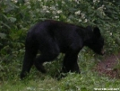 Bear at Mollie's Ridge Shelter in Smokies by ATSeamstress in Bears