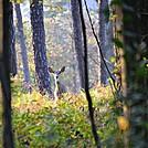 Rausch Gap Bambi