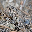 American Toad by Nasty Dog Virus in Other