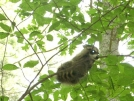 7-7-07 Baby Racoon curled up on a small tree. by doggiebag in Other