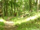 Bobcat (7/14/2007) - Shenandoahs