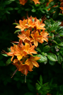 Native Azaleas by Repeat in Special Points of Interest