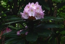 Rosebay Rhododendron On The A.t. Nort Of Pearisburg Va