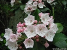 Mountain Laurel by Repeat in Flowers
