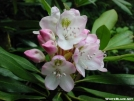Rhododendron (Rosebay) by Repeat in Flowers