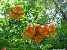 Turks Cap Lilly by Repeat in Flowers