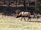 Elk In The Cataloochee Valley