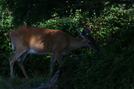 Deer On Gregory's Bald
