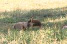 Cataloochee Valley Elk by tripp in Other