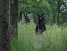 Bear In Delaware Water Gap