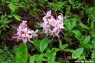 Pink Azalea by c.coyle in Flowers