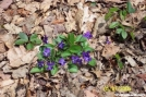Wild Violets by c.coyle in Flowers