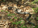 Black Racer At Pond Flats by Tennessee Viking in Snakes