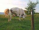 Cows At Elk Gardens Va