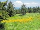 Roan Mountain by ollieboy in Flowers