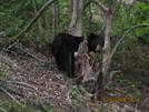 Bloodmountain Bear