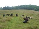 Cow Pasture at VA 610 by Rain Man in Views in Virginia & West Virginia
