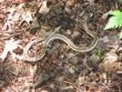 Garter Snake In Va by Rain Man in Snakes