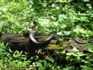 Black Snake In Va by Rain Man in Snakes