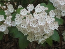 Mountain Laurel, Va by Rain Man in Trail & Blazes in Virginia & West Virginia