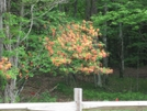 Grayson Highlands Flaming Azalea, Va