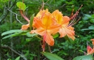 Flaming Azalea on the BMT by Hikerhead in Flowers