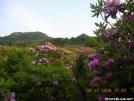 Rhodo's at Rhodo Gap Mt Rogers. by Hikerhead in Flowers