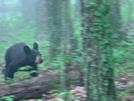 Bear 2 Miles North Of Fulhardt Shelter 8-15-09 #1