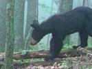 Bear 2 Miles North Of Fulhardt Shelter 8-15-09 #2
