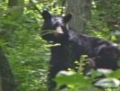 SNP/Beahm Gap Bear and cub