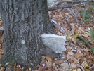 Tree Births Rock by The Professor in Trail & Blazes in Maryland & Pennsylvania