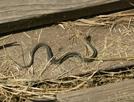 Yuck! by -SEEKER- in Snakes