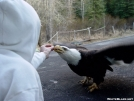 Alaskan Eagle by Aswah in Other Trails
