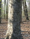 Carved Tree by sasquatch2014 in Trail & Blazes in Maryland & Pennsylvania