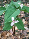 Trillium by sasquatch2014 in Flowers